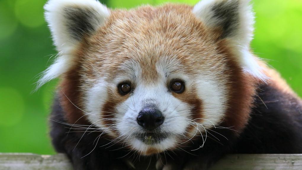 Le panda roux © MNHN - Emmanuel Baril