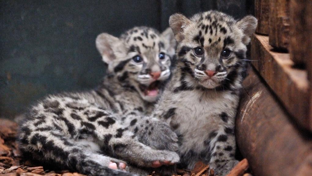 Bébés panthères longibandes ou panthères nébuleuses © MNHN - FG Grandin