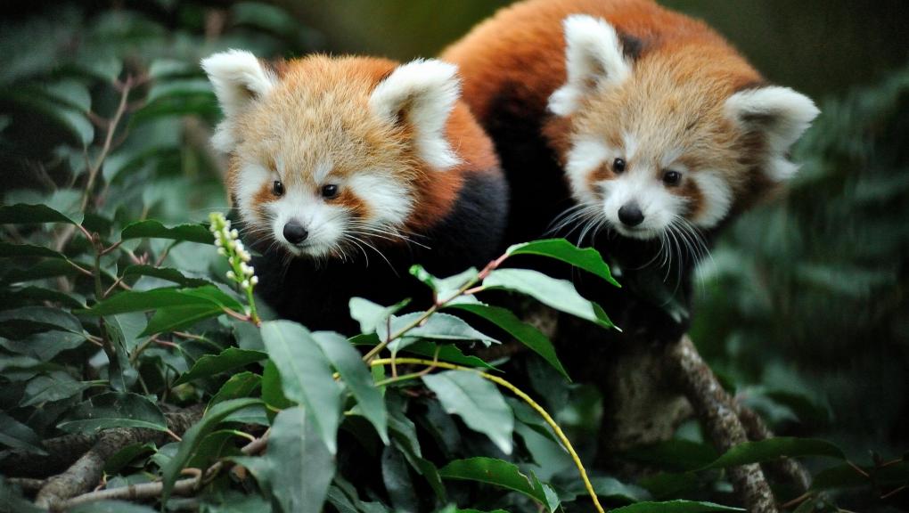 Pandas roux - Ménagerie, zoo du Jardin des Plantes © MNHN - FG Grandin