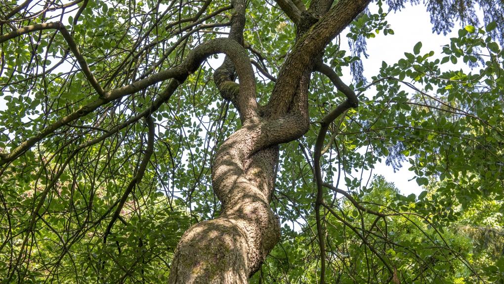 Pistacia vera - Pistacia vera L. - Anacardiaceae © MNHN - Bruno Jay