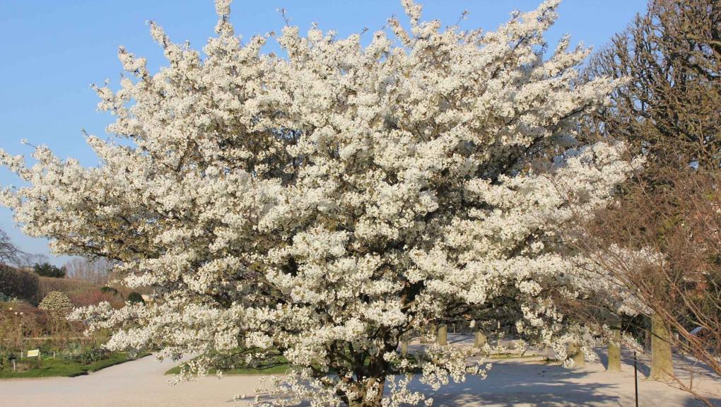 Prunus en fleurs au Jardin des Plantes © MNHN - Xavier Riffe