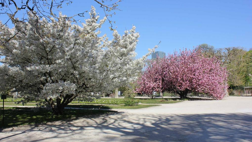 Prunus en fleurs au Jardin des Plantes © MNHN - Xavier Riffet