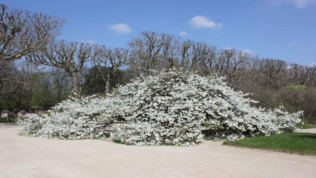 Prunus « Shirotae » en fleurs au Jardin des Plantes © MNHN - Xavier Riffet