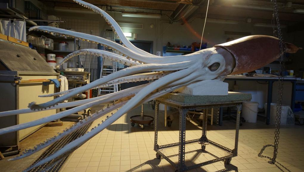 Restauration calmar géant Wheke - Grande Galerie de l'Évolution © MNHN - J.-C. Domenech