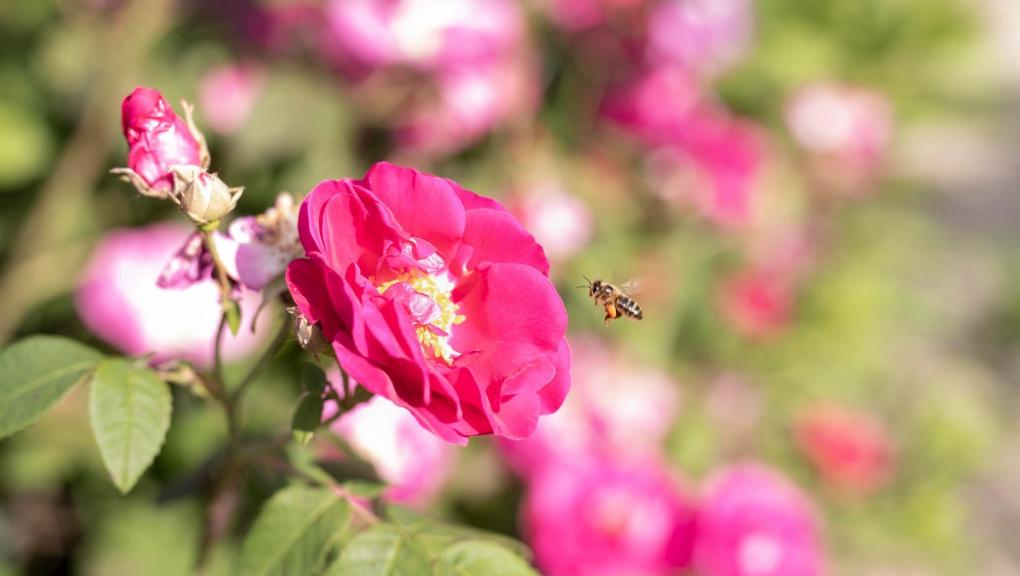 Carré Lamarck, Rosa gallica © MNHN - Agnès Iatzoura