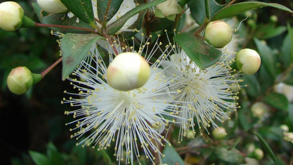 Myrte - Myrtus communis © CC BY 3.0 - Forest & Kim Starr