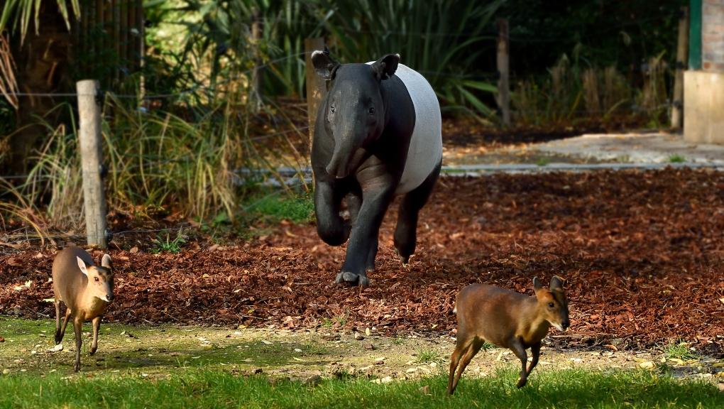 Tapir malais © MNHN - François Grandin