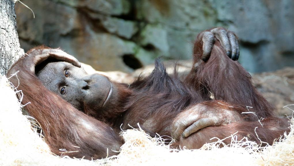 Banggi - Mâle orang-outan © E. Baril