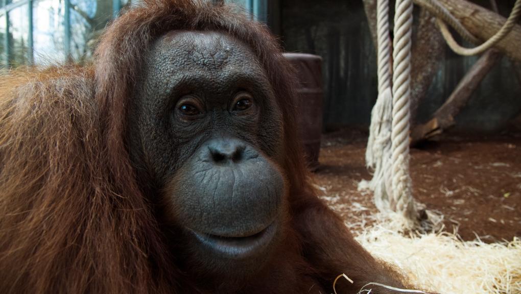 Théodora - Femelle orang-outan © MNHN