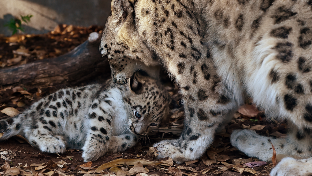 Jeune panthère des neiges avec sa mère © MNHN – F-G. Grandin