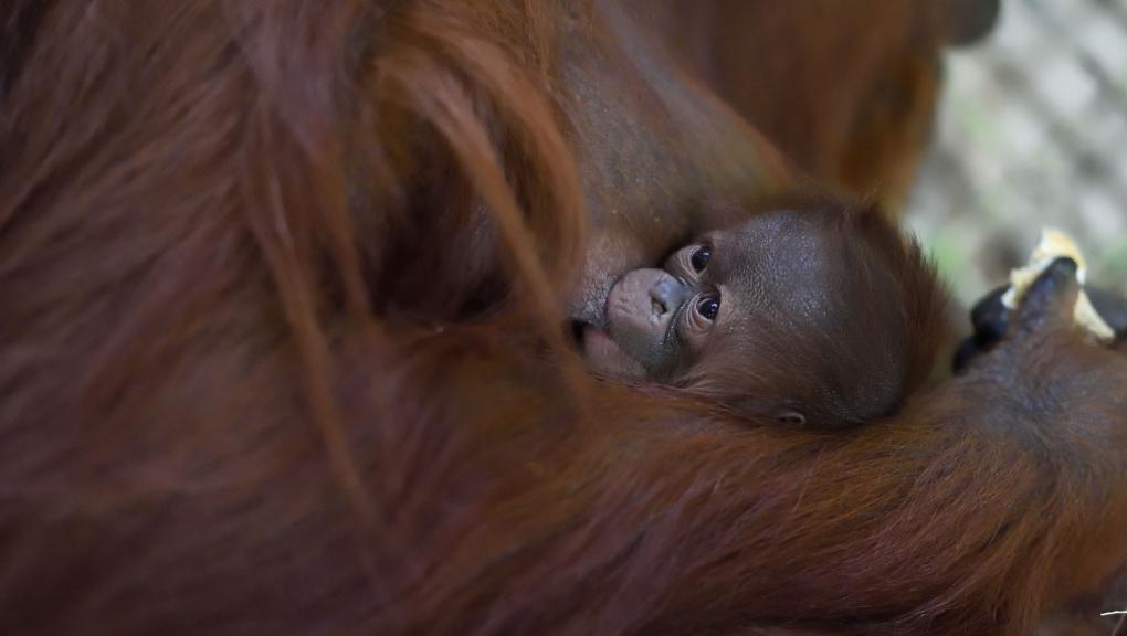 Java, jeune femelle orang-outan née le 17 octobre 2018 à la Ménagerie © MNHN – F-G. Grandin