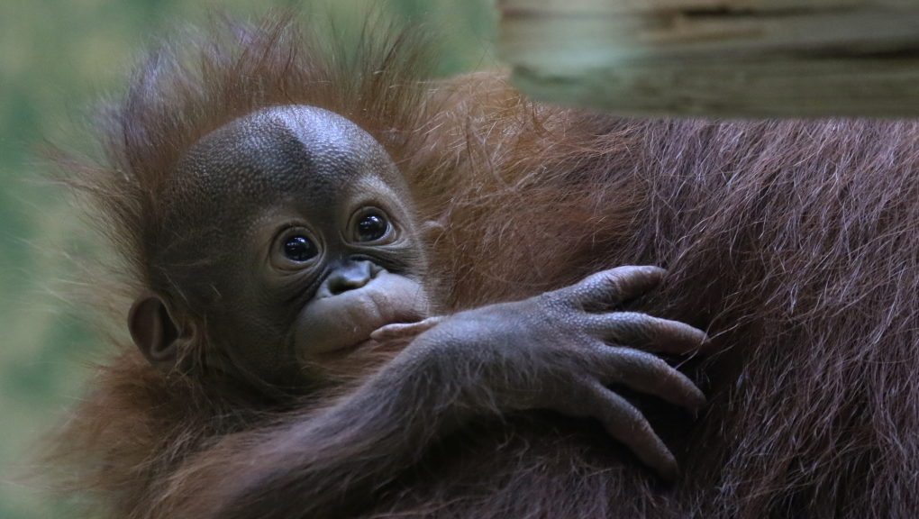 Java, femelle orang outan, fête ses 6 mois © E. Baril