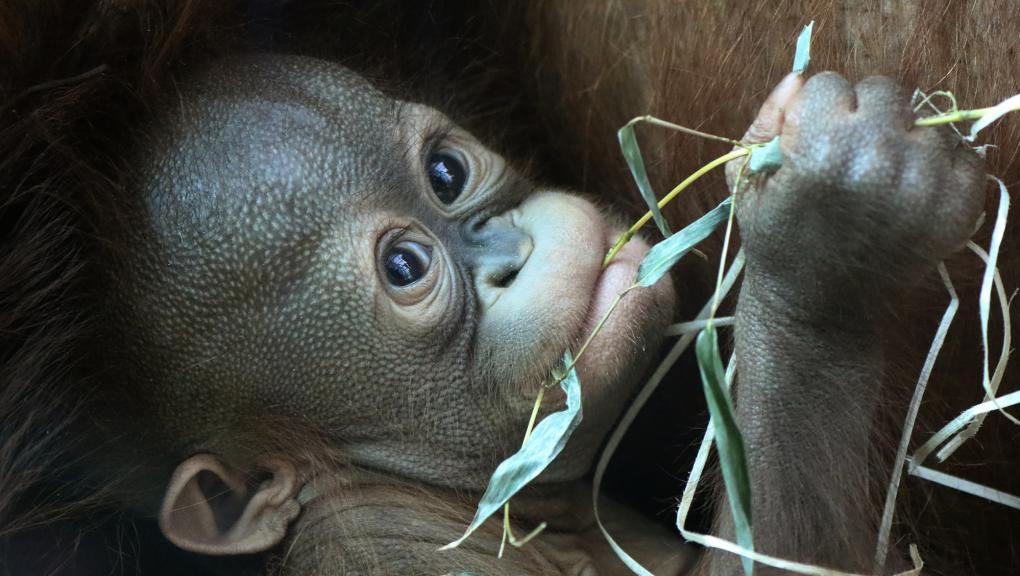 Java, jeune femelle orang-outan né le 17 octobre 2018 à la Ménagerie © E. Baril