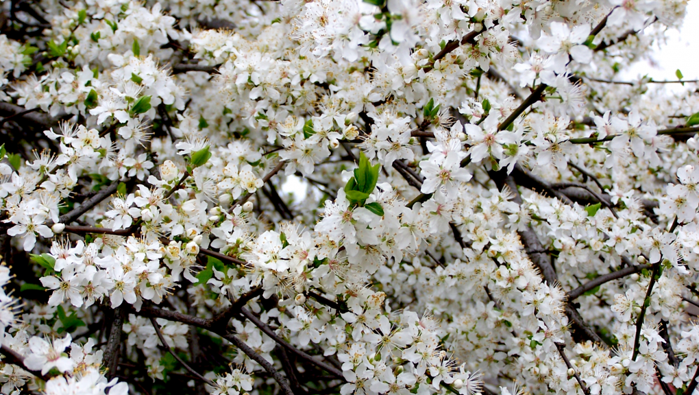 Cerisier du Japon en fleurs © MNHN – F-G. Grandin