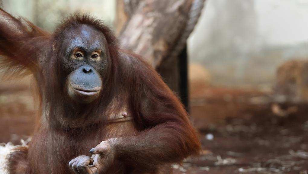 Tamü - Femelle orang-outan © E. Baril
