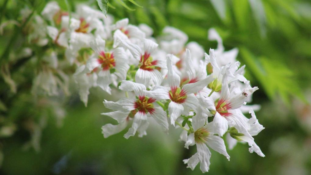 Xanthoceras sorbifolia © MNHN