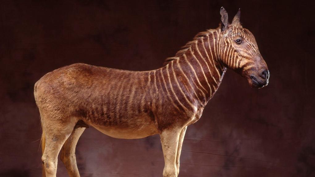 Zèbre Couagga (<em>Equus quagga quagga</em>), Galerie des animaux disparus © MNHN - C. Lemzaouda