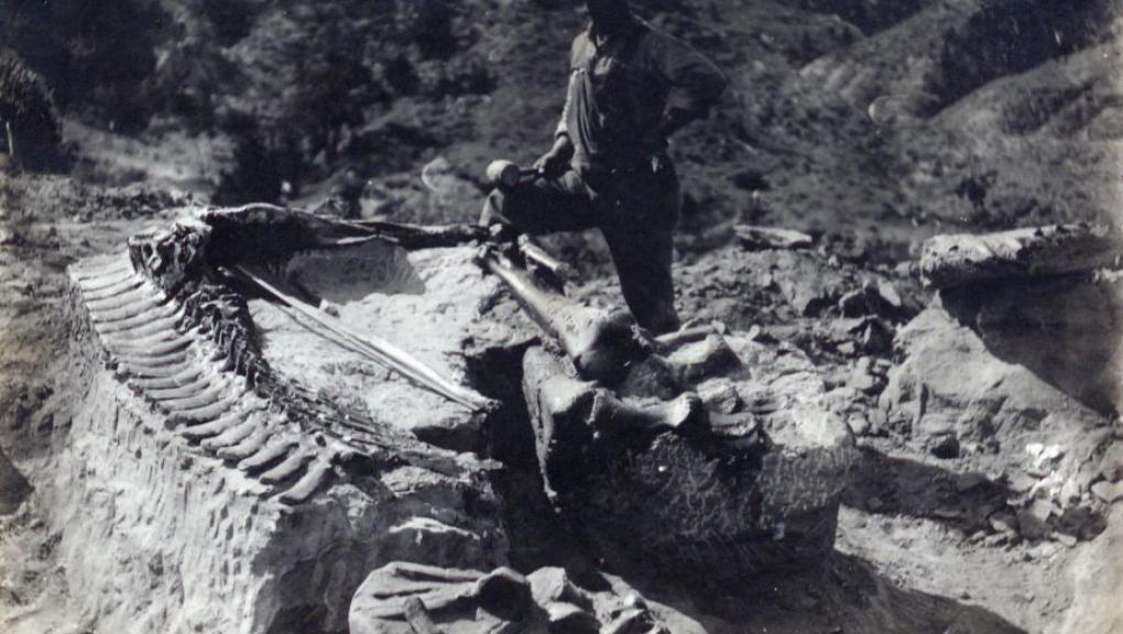 Charles Sternberg en plein dégagement du squelette d'Edmontosaurus découvert dans le Wyoming © MNHN