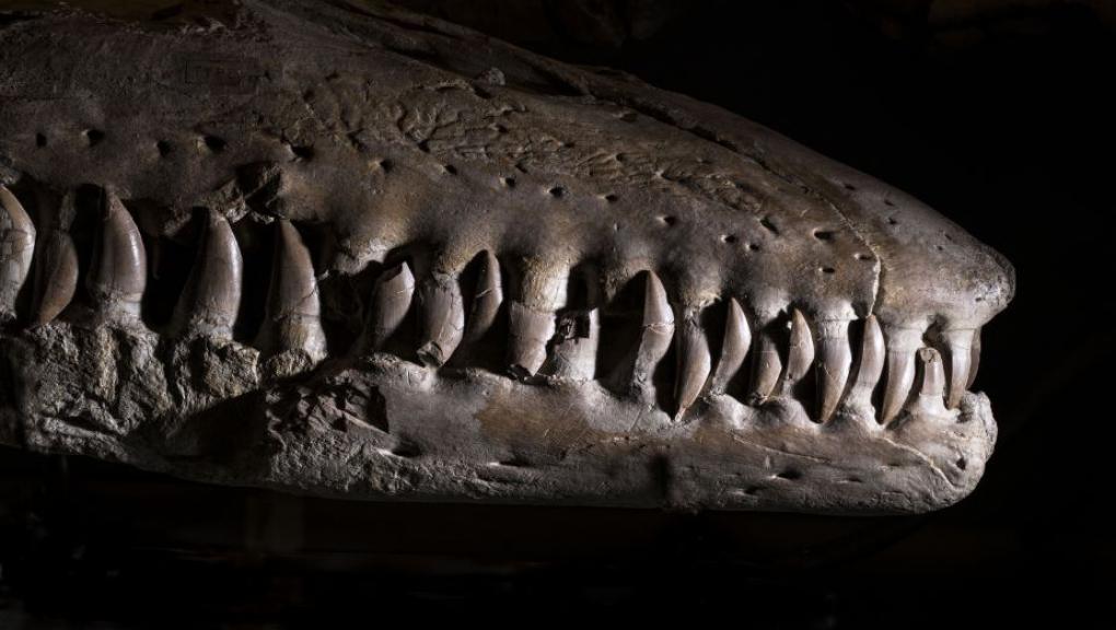 Prognathodon mosasauroides - Mosasaure © MNHN - Agnès Iatzoura