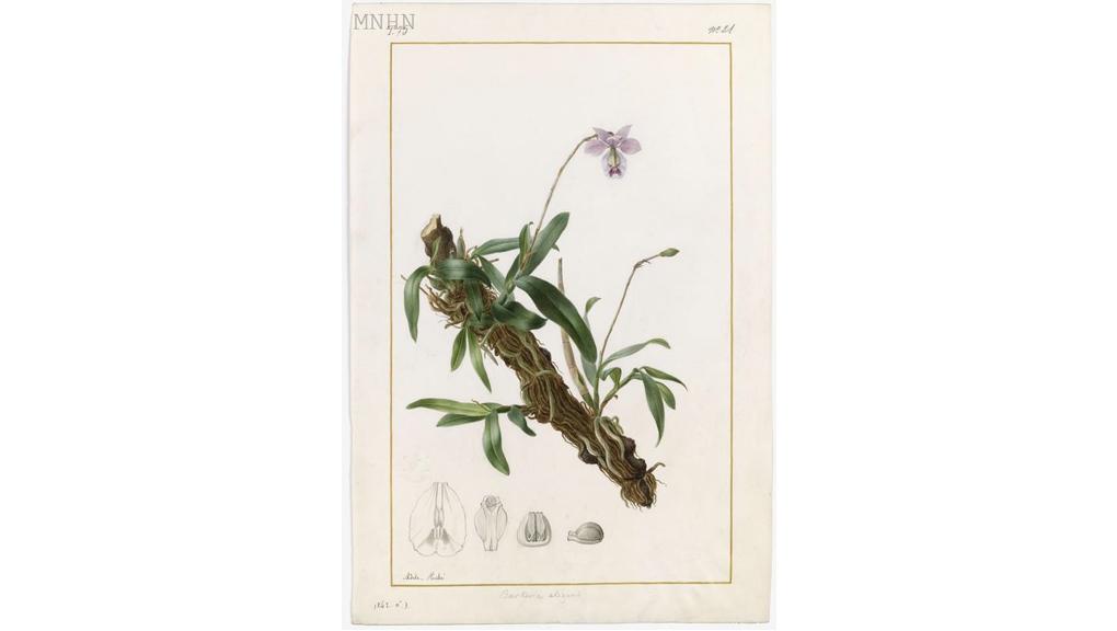 Barkeria uniflora (Barkeria elegans) Adäle Riché (1791-1878) 1842 Aquarelle sur vélin Collection des vélins du Muséum, portefeuille 75, folio 21