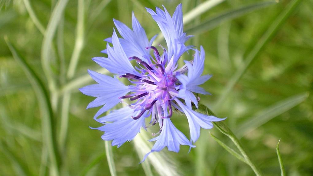 Bleuet des champs (Cyanus segetum) © MNHN - Bruno Jay