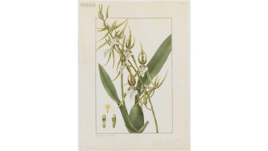 Brassia maculata Pancrace Bessa (1772-1835) 1832 Aquarelle sur vélin Collection des vélins du Muséum, portefeuille 14, folio 35