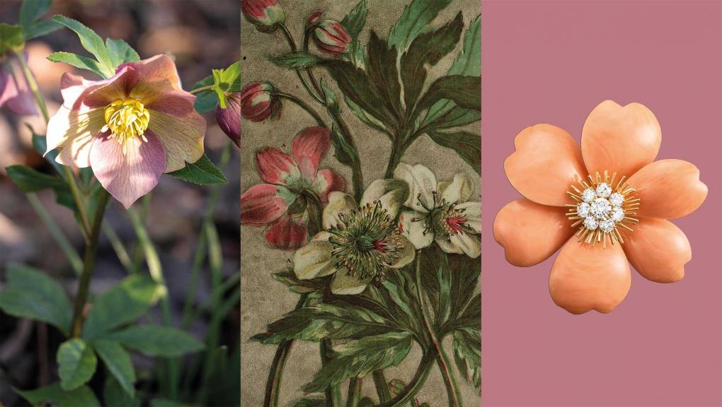 Calendrier floral - Décembre : les roses de Noël © MNHN / Collection Van Cleef & Arpels