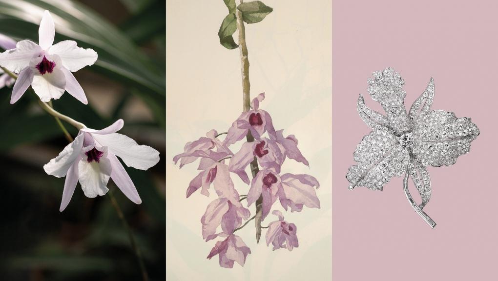 Calendrier floral - Février : les orchidées © MNHN / Collection Van Cleef & Arpels