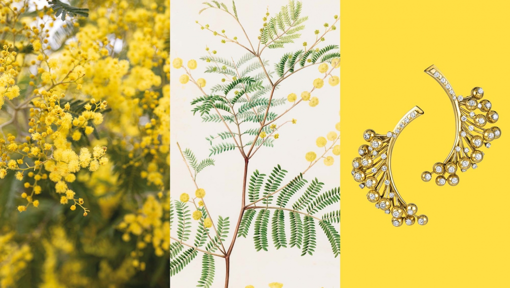 Calendrier floral – Mars : le mimosa © MNHN / Collection Van Cleef & Arpels