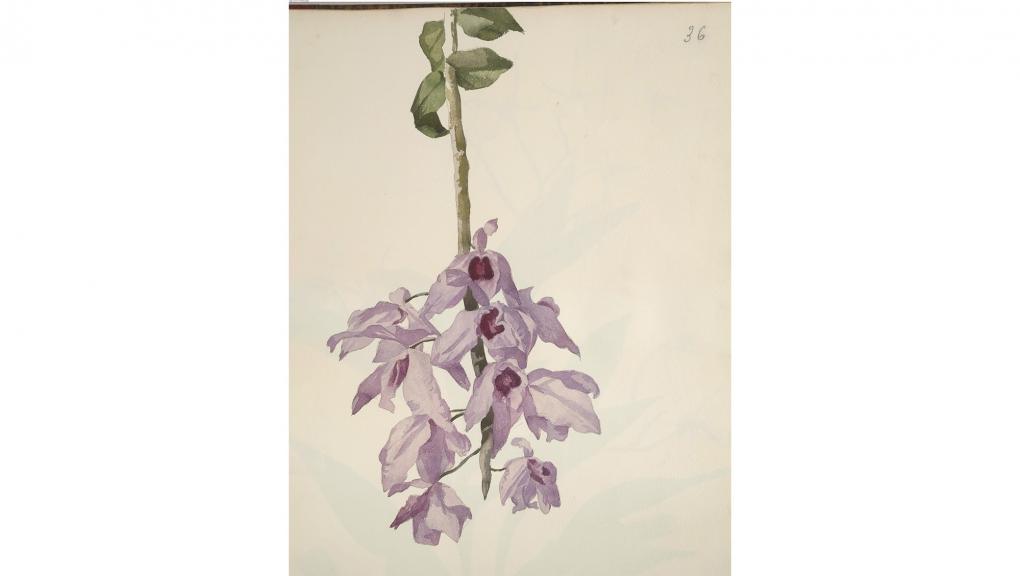 Cécile Delessert (1825-1887), Dendrobium anosmum, 1862, Aquarelle sur papier, Paris, MNHN © MNHN