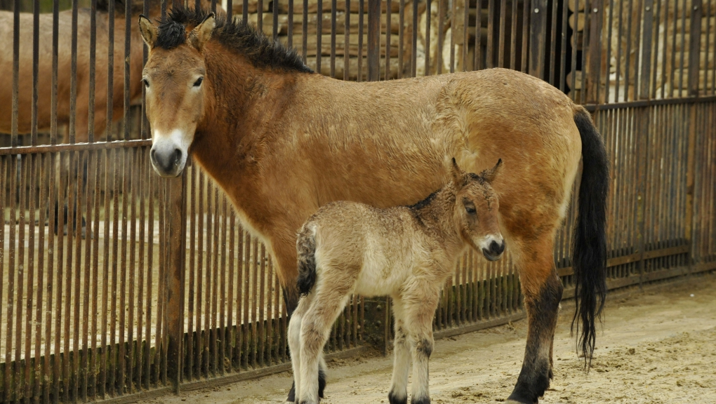 Jument Przewalski et son petit (Equus ferus przewalskii) © MNHN – FG Grandin