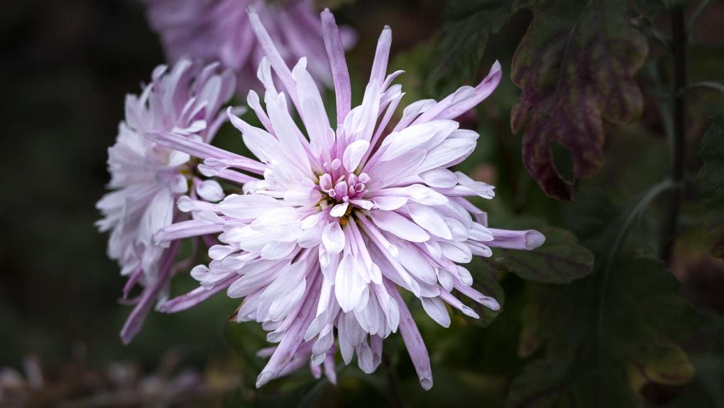 Chrysanthème des fleuristes (Chrysanthemum × grandiflorum) © MNHN