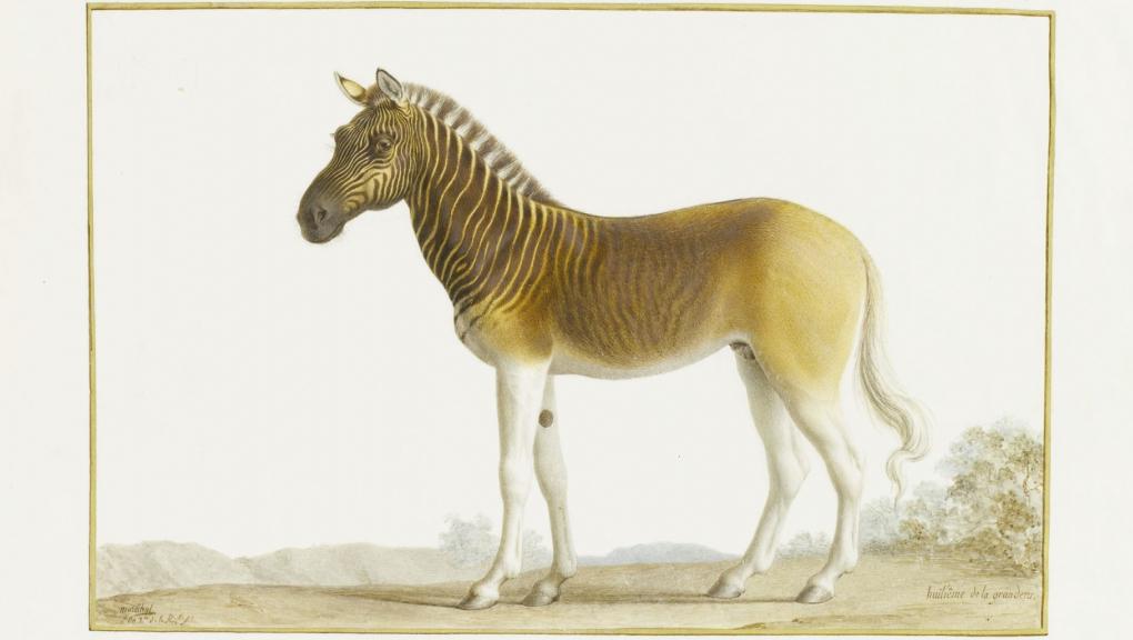 Zèbre Couagga (<em>Equus quagga quagga</em>), Vélin de N. Maréchal (1793) © MNHN - Dir. des bibliothèques et de la documentation