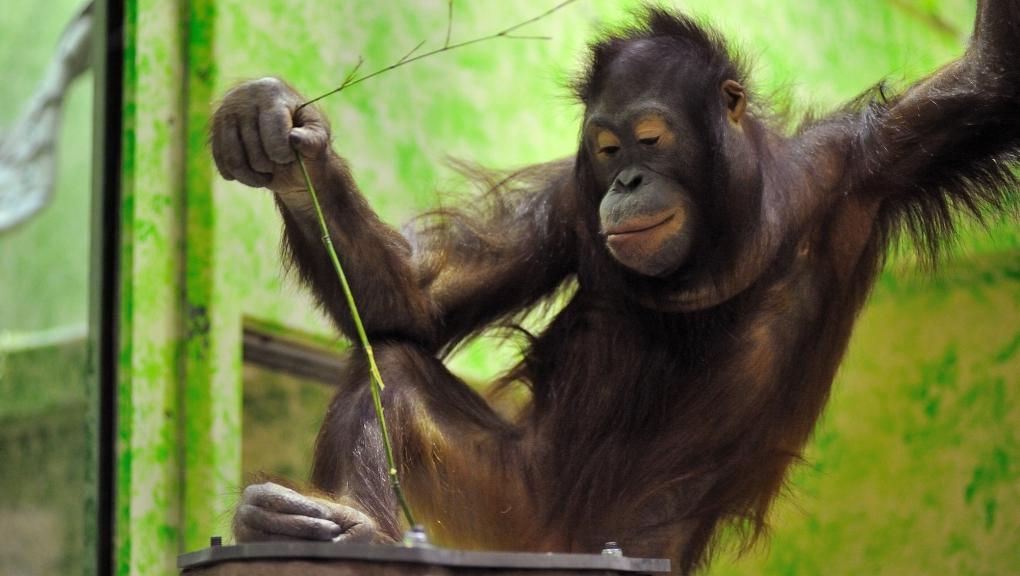 Enrichissement pour les orangs-outans avec les termitières © MNHN - F-G. Grandin