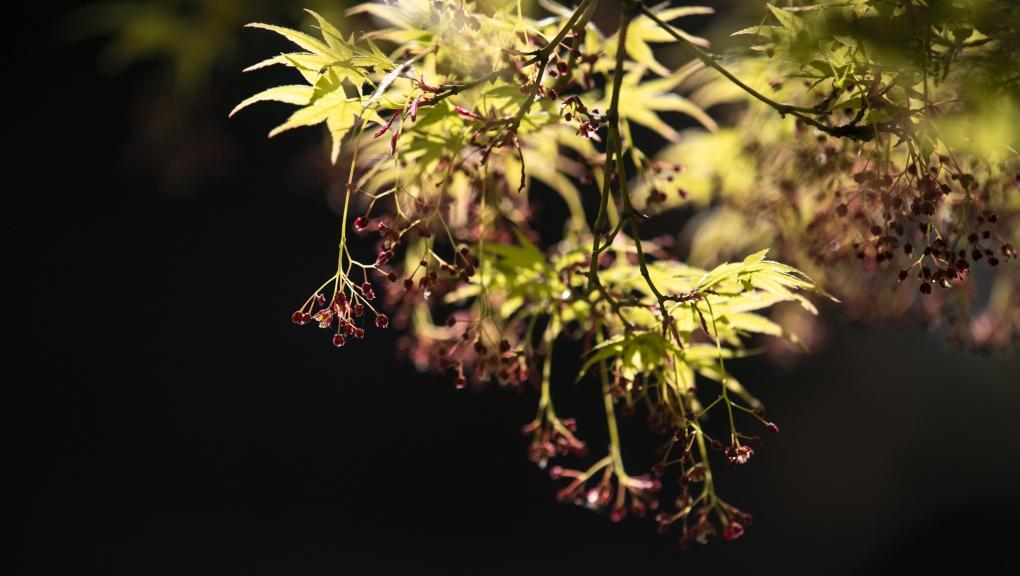 Erable palmé (Acer palmatum) © MNHN - Agnès Iatzoura