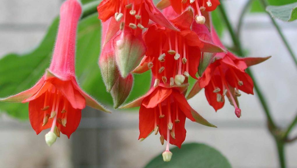 Fuchsia fulgens © MNHN