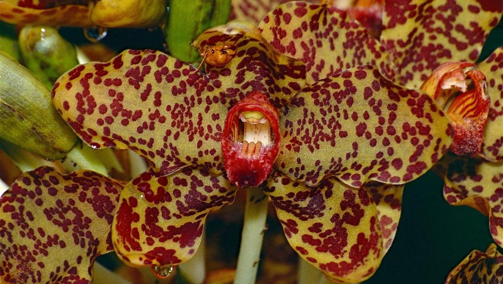 Grammatophyllum speciosum © Bernard-Dupont - CC BY-SA 2.0