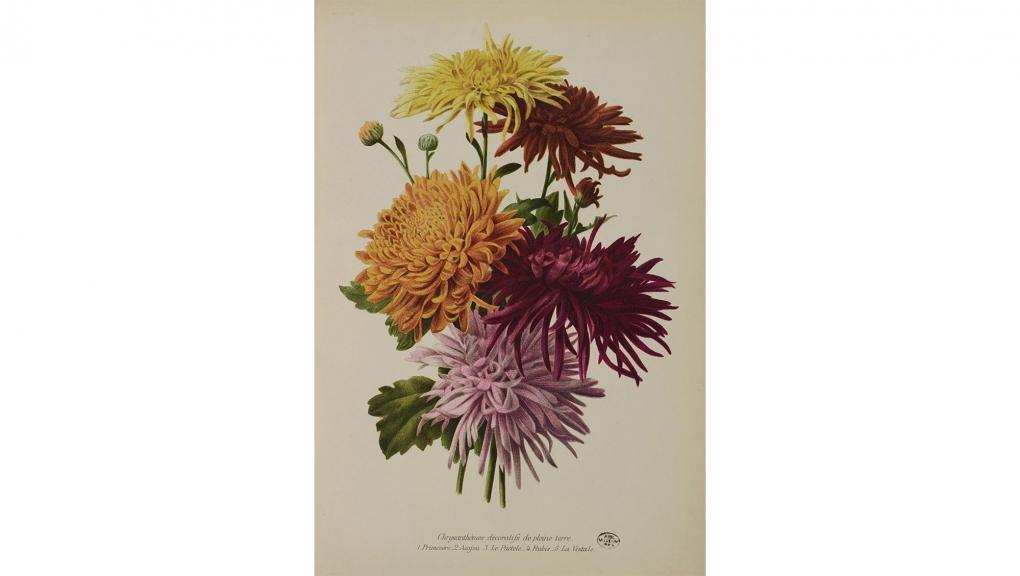 J. R. Guillot et J. L. Goffart, Chrysanthemum × grandiflorum 'Primevère', C. × grandiflorum 'Acajou', C. × grandiflorum 'Le Pactole', C. × grandiflorum 'Rubis', C. × grandiflorum 'La Vestale', in Revue horticole, Paris, 1905. Paris © MNHN