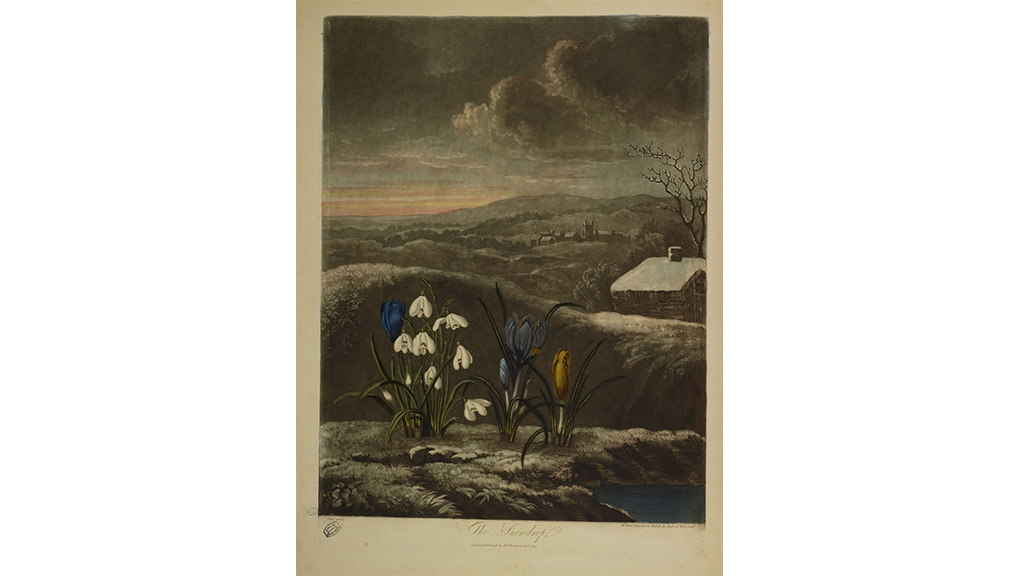 William Ward (1766-1826), d'après Abraham Pether (1756-1812), The Snowdrop (détail), in Robert John Thornton (1768-1837), Temple of Flora, Londres, À compte d'auteur, 1807 © MNHN