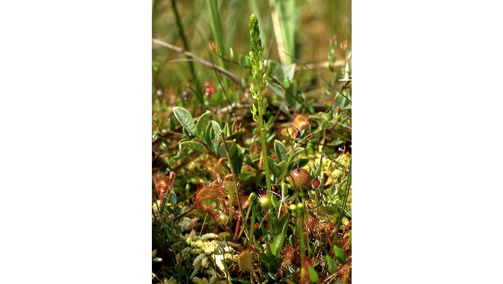 Hammarbya paludosa, espèce classée En danger par l'UICN © CC BY-SA 3.0