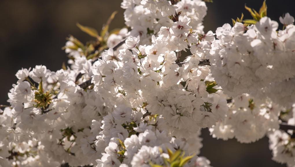 Merisier à grappes (Prunus padus) © MNHN - Agnès Iatzoura