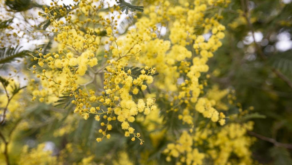 Mimosa d'hiver (Acacia dealbata) © MNHN - Agnès Iatzoura