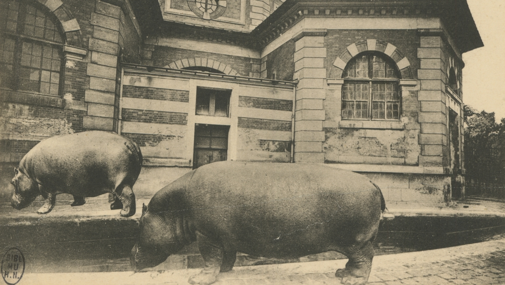 Les hippopotames nains Kako et Liza © MNHN – Bibliothèque centrale
