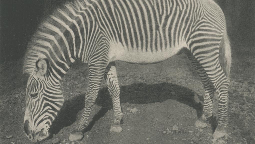 Zèbre de Grévy (Equus grevyi) © MNHN – Bibliothèque centrale