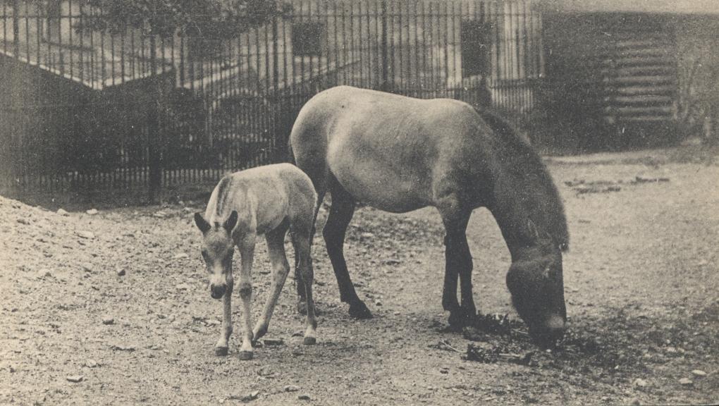 Jument Przewalski et son petit (Equus ferus przewalskii) © MNHN – Direction des bibliothèques et de la documentation