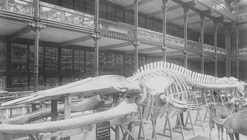 Galerie de Zoologie en 1892, grand hall. Squelette de la baleine bleue - Fonds Pierre Petit © MNHN - Direction des Bibliothèques