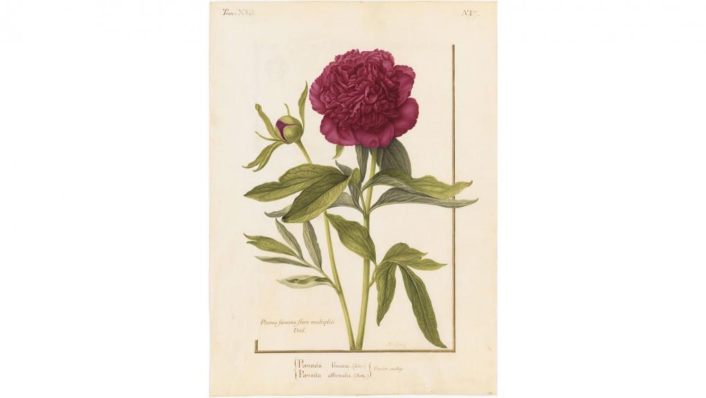 Nicolas Robert (1614-1685), Pivoine des jardins 'Rubra Plena' (Paeonia x festiva 'Rubra Plena' ) (détail), XVIIe siècle. Gouache sur vélin. Paris, MNHN. © MNHN (dist. Rmn-GP)/Tony Querrec