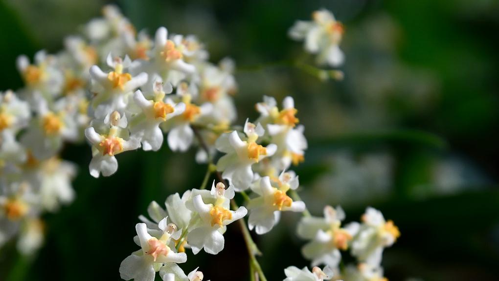 Oncidium Twinkle White © MNHN - F.-G.-Grandin