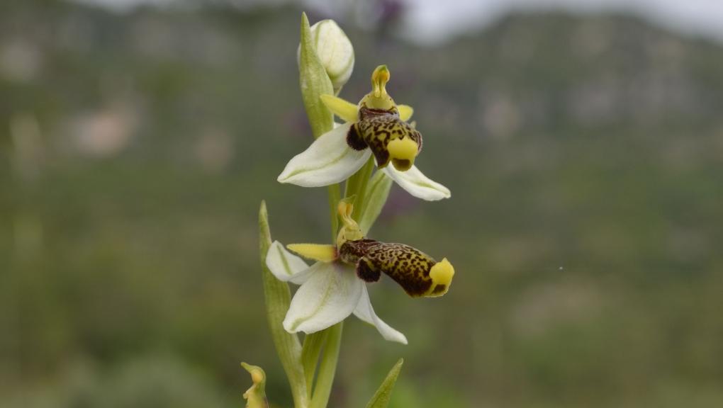 Ophrys philippi, espèce classée En danger par l'UICN © CecilF CC BY-SA 4.0