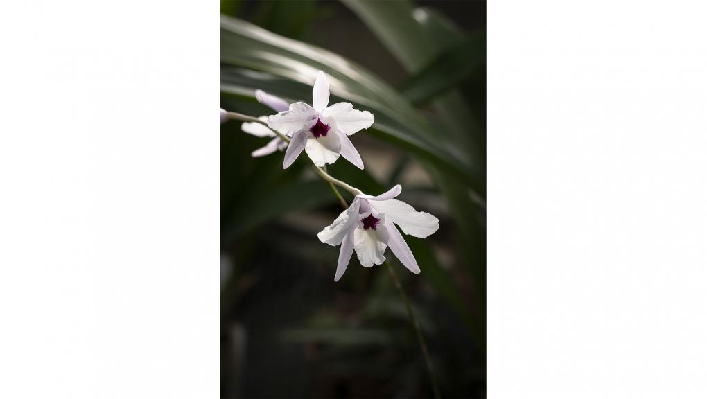 Orchidée bambou (Dendrobium aff. nobile) © MNHN - Agnès Iatzoura